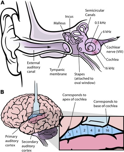 Frequency mapping in human ear and brain - 10.1371 journal.pbio.0030137.g001-L