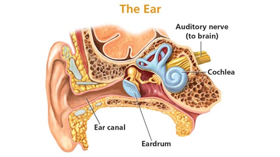 Sensation and Perception Hearing Loss Ear Schematic
